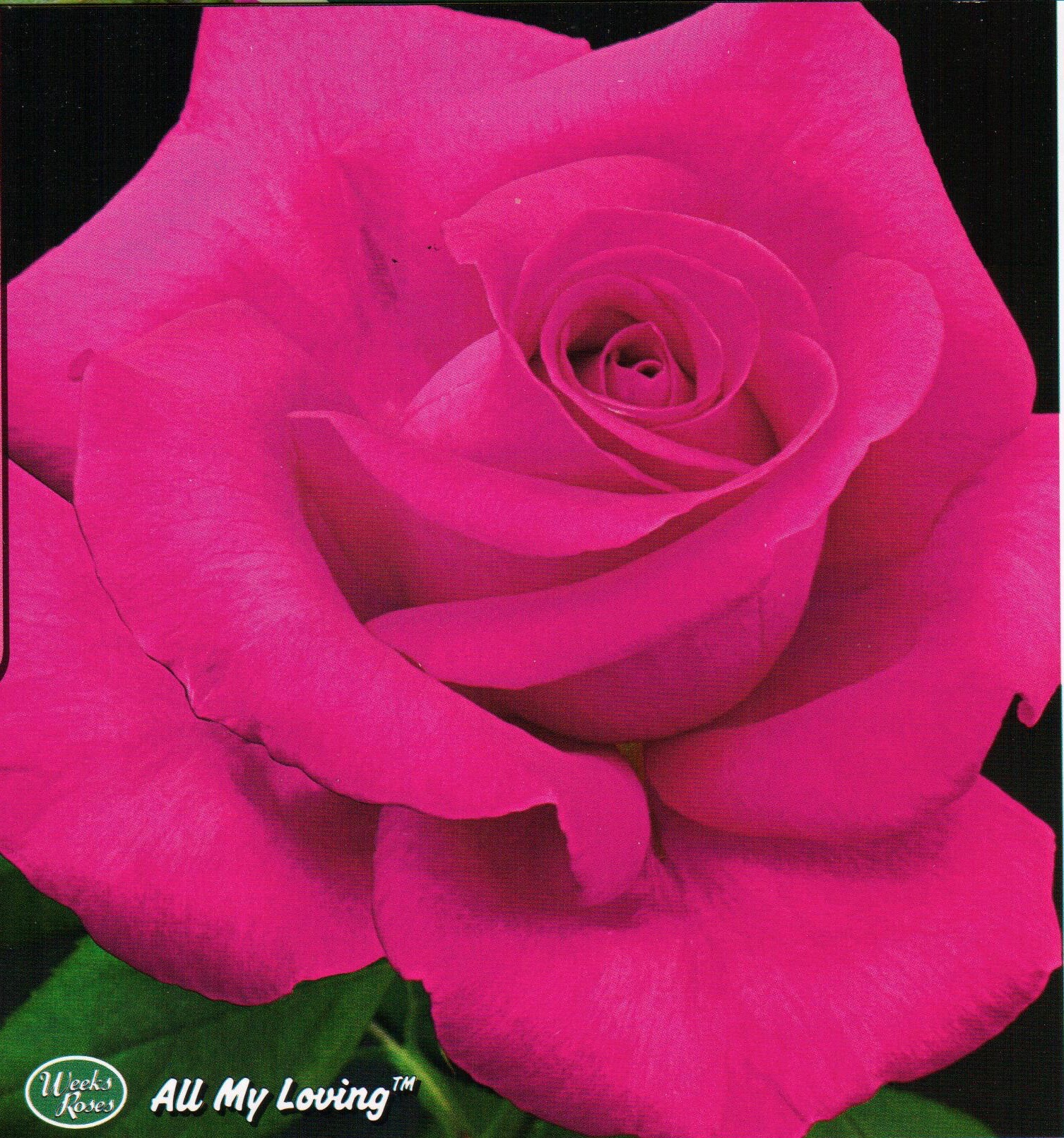 The Perfect Rose Catalog Red Roses